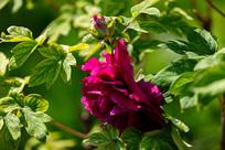紫牡丹特写