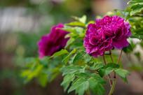 紫色的牡丹花