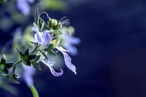 灌丛石蚕花