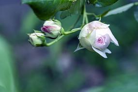 含苞待放的玫瑰