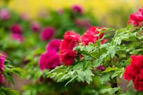 花园里带水珠的红色牡丹花