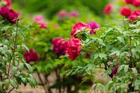 花园里的红牡丹