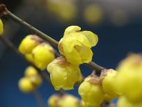 金黄色的蜡梅花朵
