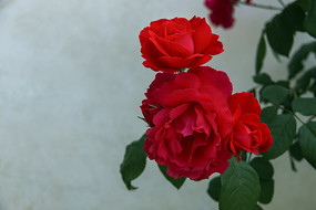 三朵相拥的红月季花