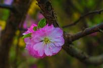 树杆上的一朵榆叶梅花