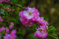 树枝上的一团球状榆叶梅花