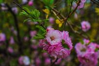 树枝上一团绽开的榆叶梅花
