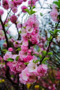 树枝枝头上的几串小桃红花