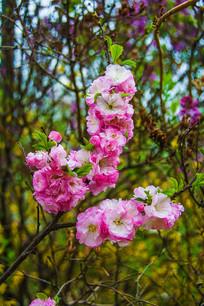 树枝枝头上的几串榆叶梅花