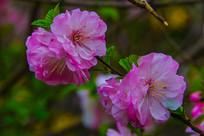 树枝枝头上的几朵榆叶梅花