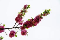 树枝枝头上的一串串榆叶梅花