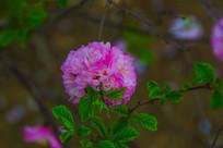 一朵倒长在树枝头上的小桃红花