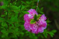 一朵倒长在树枝头上的榆叶梅花