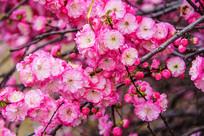一朵朵树枝榆叶梅花与一只蜜蜂