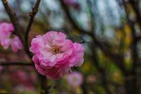 一朵盛开的榆叶梅花