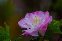 一朵绽放的榆叶梅花