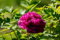 一朵紫牡丹