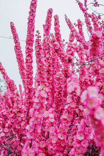 一条条树枝上的的榆叶梅花