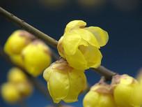 枝头盛开的蜡梅花朵