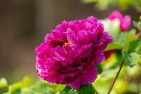 紫色牡丹花