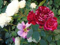 混色红玫瑰