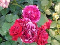 渐变色红玫瑰
