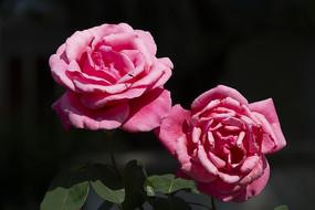 两朵黑底粉红玫瑰