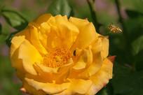 蜜蜂与黄玫瑰