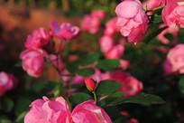 蔷薇花朵骨