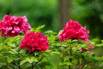 盛开的红牡丹
