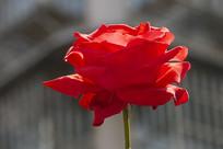 一朵盛开的红玫瑰