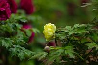一朵盛开的黄牡丹