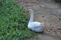 一只大白鹅