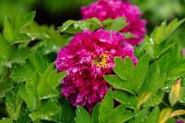 紫牡丹花瓣特写