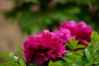 曹州紫牡丹