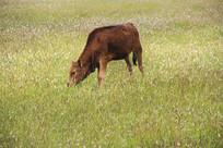 吃草小牛犊