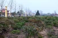 菏泽牡丹种植基地