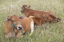 黄牛拍摄素材