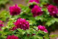 花园里盛开的紫牡丹