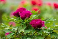 娇艳的紫色牡丹花