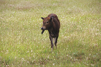 可爱小牛犊