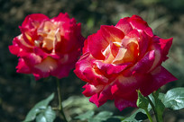 阳光下两朵红色月季花