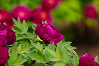 一朵紫色牡丹花