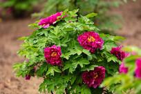 雨后盛开的紫牡丹