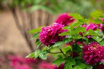 雨中的紫牡丹