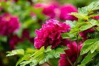 雨中的紫色牡丹花