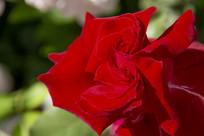 中国红双心玫瑰