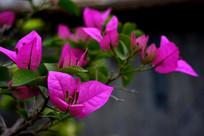 粉紫色三角梅