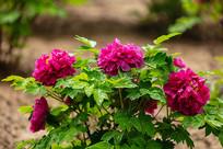 带水珠的紫色牡丹花