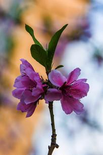 两朵盛开的顶着嫩树叶的桃花